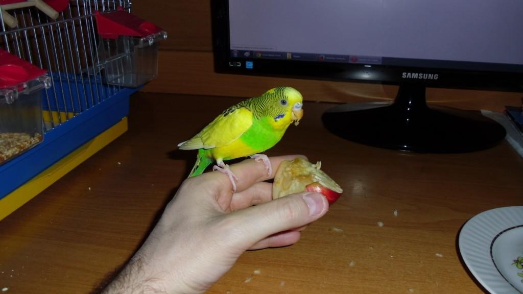 Попугай ест яблоко