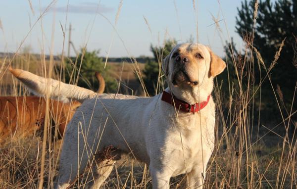 Палевая собака в поле