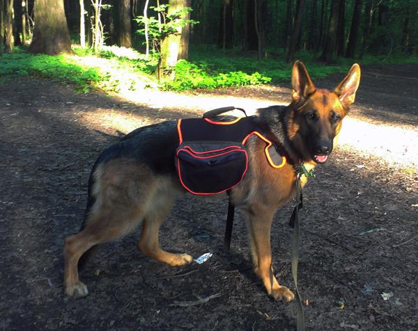 Молодая собака с прогулочным рюкзаком