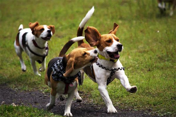 Собаки на охоте