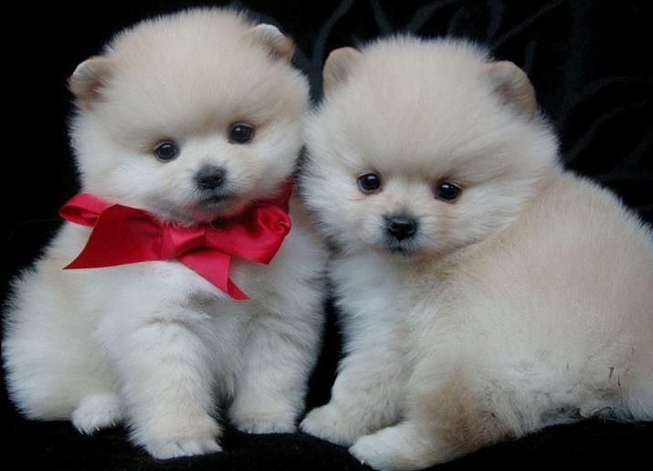 Два белых щенка-померанца