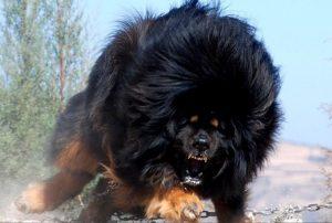 Устрашающая собака мастиф