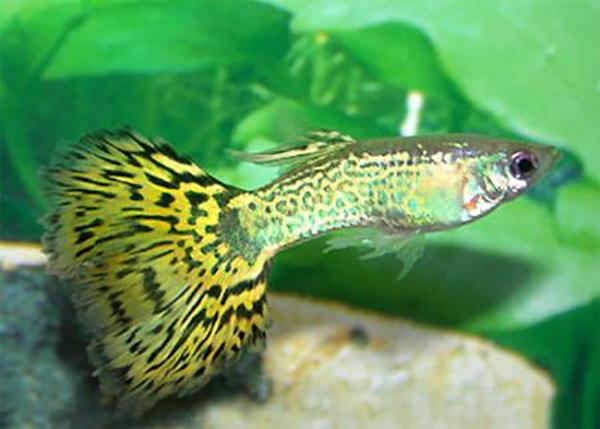 Рыба леопард в аквариуме