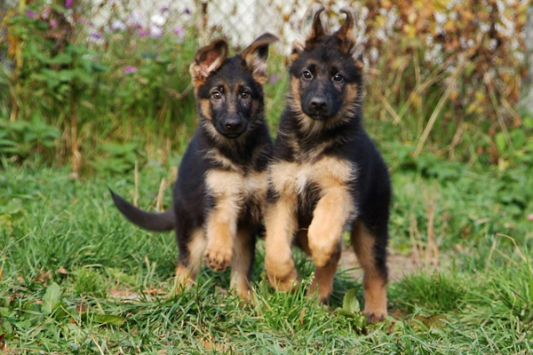 Два четырехмесячных щенка на лужайке