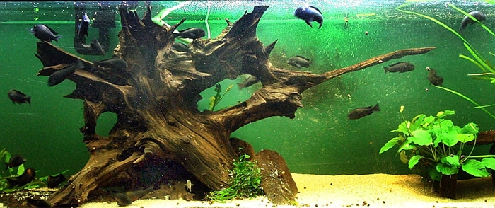Корень дерева в акваримуе