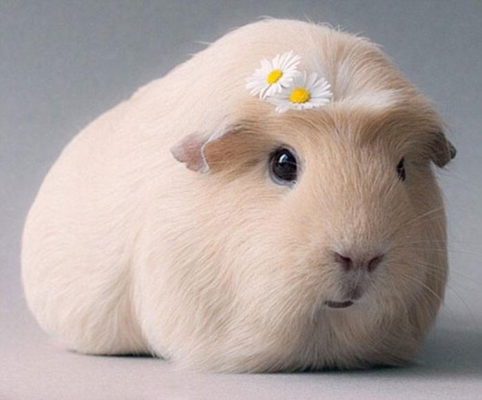 Морская свинка: уход и содержание в домашних условиях для начинающих
