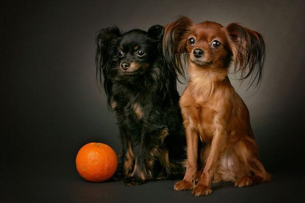 Две длинношерстные собачки-игрушки