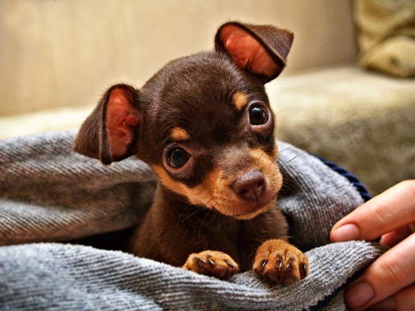 Милый щеночек сидит в покрывале