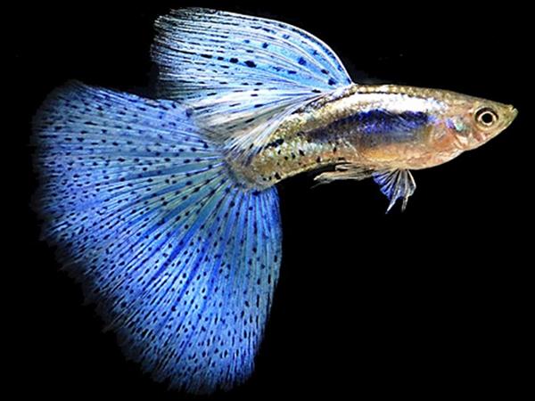 Голубая рыбка в воде