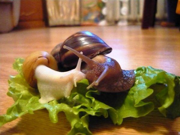 Небольшие ахатины едят салатные листья