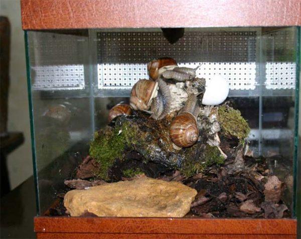 Сухопутные улитки в аквариуме