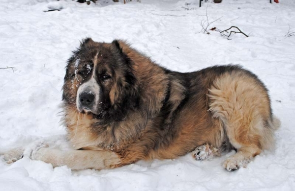 Пес русский медведь на снегу