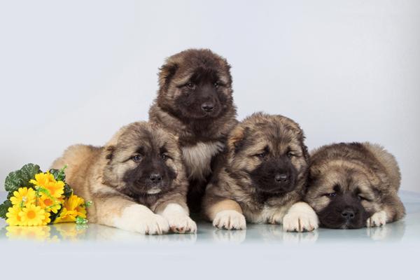Три щенка кавказской породы