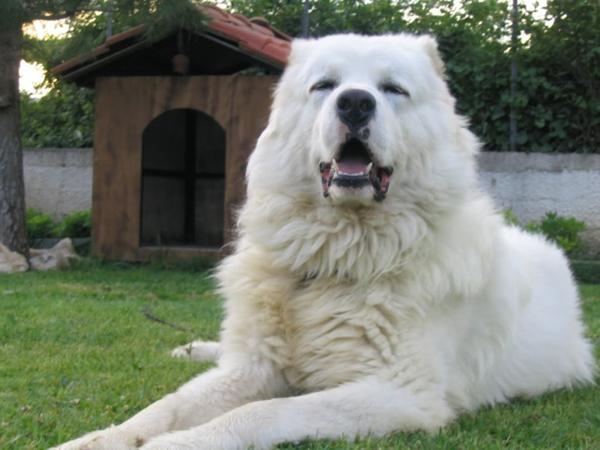 Белая овчарка возле будки