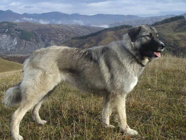 Пес с короткой шерстью в горах