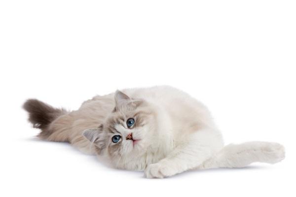 В каком возрасте кошка начинает просить кота