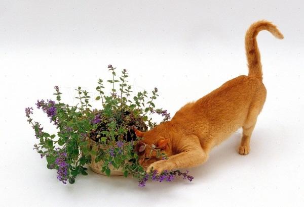 Наслаждение кошачьей мятой