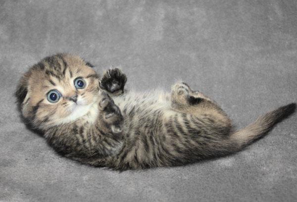 Серый котик играет