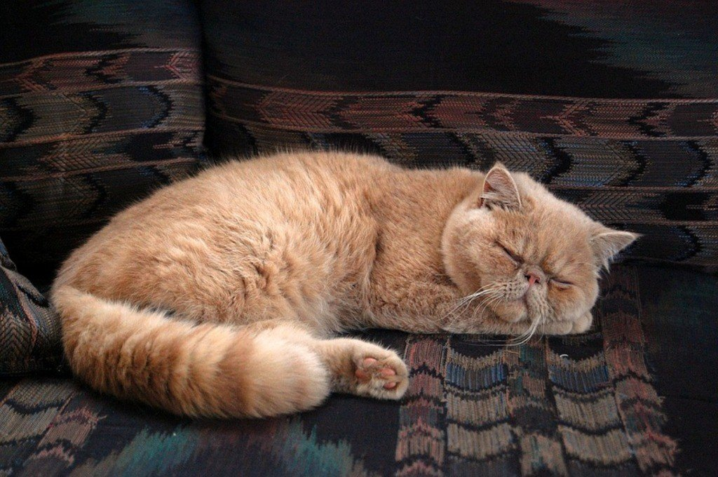 Особенности персидских кошек