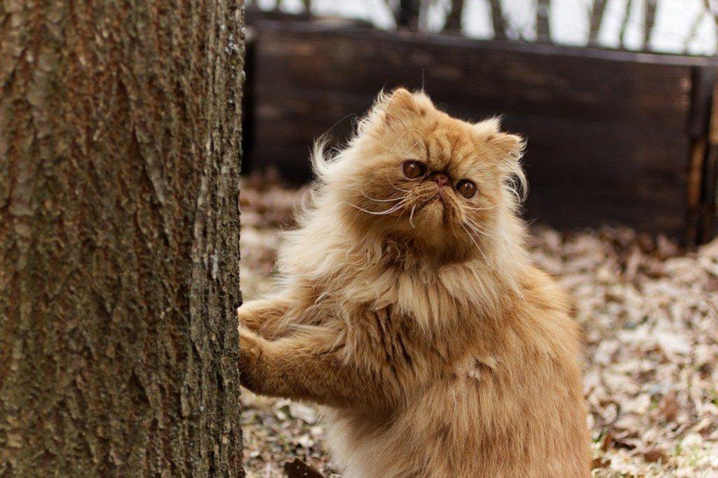 Внешний вид персидской кошки