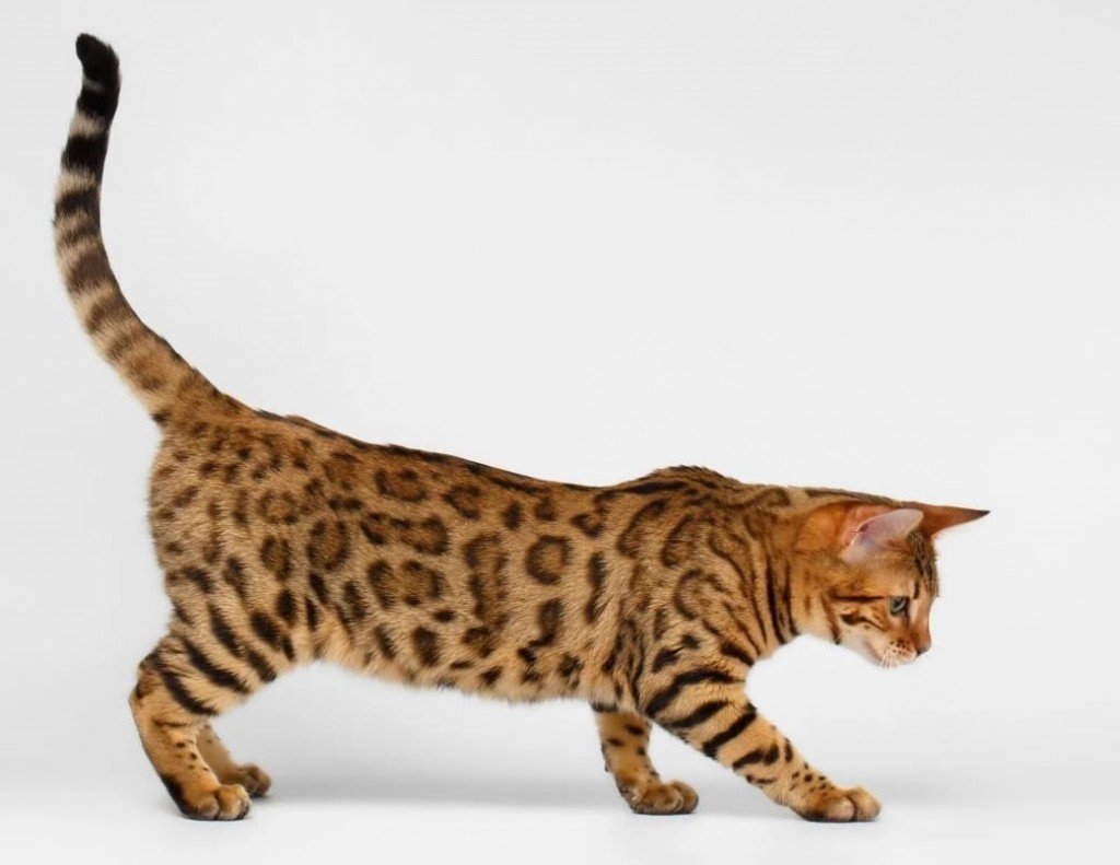Характер калифорнийской кошки