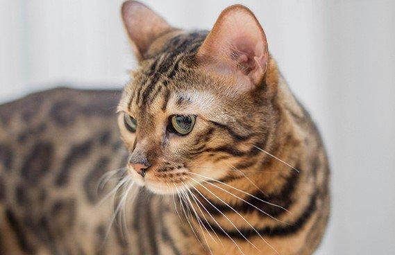 Описание калифорнийской кошки