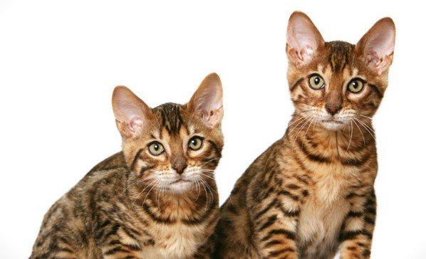 Содержание и уход за калифорнийской сияющей кошкой