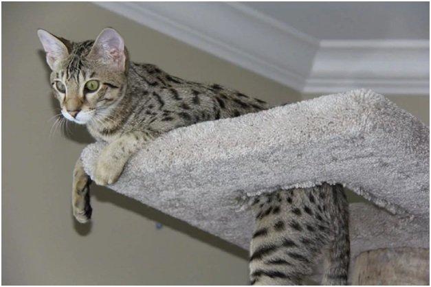 Характер кошки породы Сафари