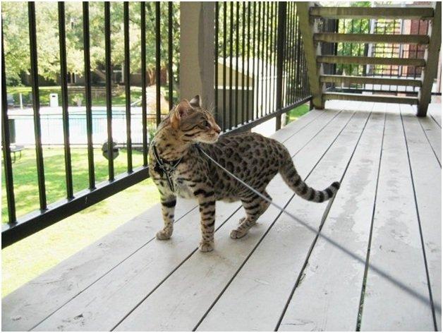 Содержание кошки породы Сафари