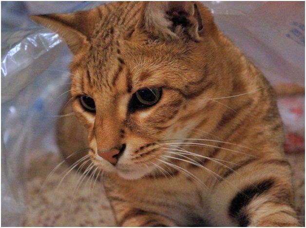 Внешний вид кошки Сафари