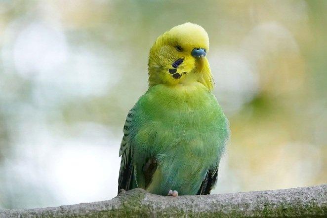 Все ли попугаи способны говорить