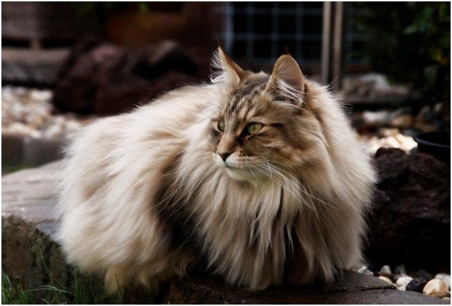 Уход за норвежской лесной кошки