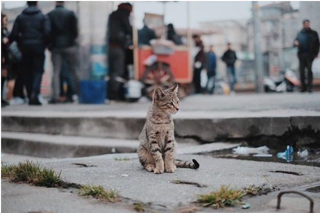 Бразильская короткошерстная кошка детальное знакомство с породой
