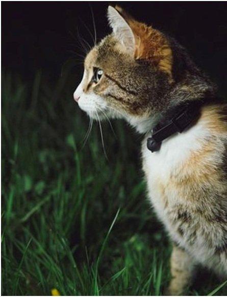 Стандарт породы кошек бразильская короткошерстная