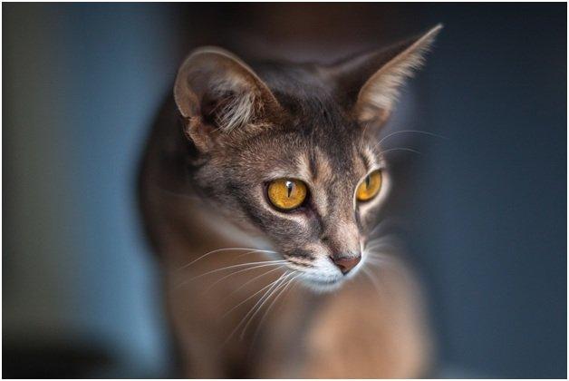 Внешность Абиссинской кошки