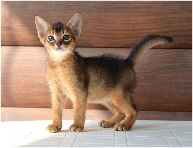 Выбор Абиссинской кошки